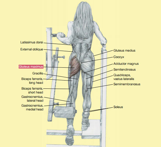 machine: hip extensions_working muscles