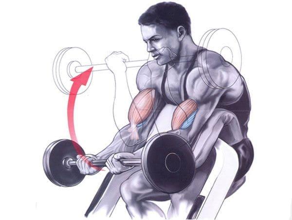 scott-bench-curls-working-muscles